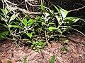 Dorstenia indica-3-chemungi-kerala-India.jpg