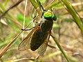 Downland Horsefly (Tabanus glaucopis) (8338479310).jpg