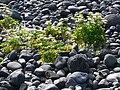 Dritvík - Vegetation und Lavakiesel 1.jpg