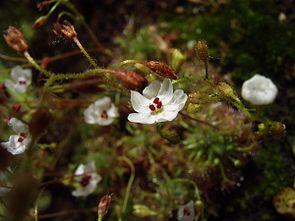 Drosera nitidula, Blüte