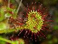 Drosera rotundifolia - leaf.jpg