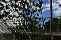 Drummond Castle Grape vine in a greenhouse in the kitchen garden.JPG