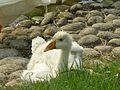 Duck .jpg