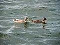 Ducks, Nacka ( 1090797).jpg