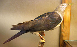 Ducula nicobarica (taxidermied) at Göteborgs Naturhistoriska Museum 8055.jpg