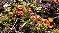 Dumontinia tuberosa cluster.jpg
