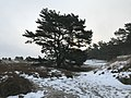 Dune landscape with snow and Pine.jpg