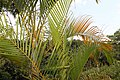 Dypsis lutescens 21zz.jpg