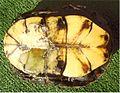 E.orbicularis carapax inf.jpg