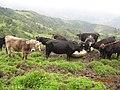 EL GANADO COMIENDO SAL - panoramio.jpg