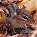 Eastern Chipmunk (Tamias striatus) (10616951836).jpg