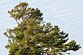 Eastern White Pine (Pinus strobus) - Killarney, Ontario 02.jpg