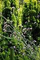 Easton Lodge Gardens, Little Easton, Essex, England ~ Verbena bonariensis purpletop vervain 4.jpg