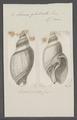 Eburna glabrata - - Print - Iconographia Zoologica - Special Collections University of Amsterdam - UBAINV0274 074 01 0007.tif