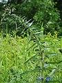 Echium vulgare Żmijowiec zwyczajny 2020-06-07 03.jpg
