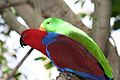 Eclectus roratus -Adelaide Zoo, Australia -pair-8a.jpg