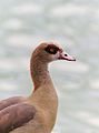 Egyptian goose, Palmengarten, Frankfurt am Main (cropped).jpg