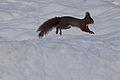Eichhoernchen im Schnee.jpg