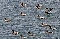 Eider Ducks 2 (6234946762).jpg