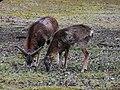 Einträchtig fressend Mufflon Gehege Mannheim März 2012.JPG