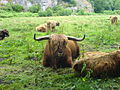Ekkodalen - cattle.jpg
