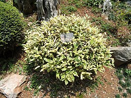 Elaeagnus pungens - Kunming Botanical Garden - DSC03020