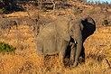 Elefante africano de sabana (Loxodonta africana), parque nacional Kruger, Sudáfrica, 2018-07-25, DD 12.jpg
