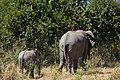 Elephant, Ruaha National Park (2) (28111186614).jpg