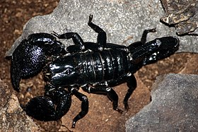 Emporer scorpion.jpg