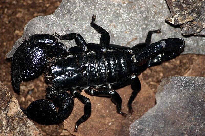 http://upload.wikimedia.org/wikipedia/commons/thumb/f/fd/Emporer_scorpion.jpg/800px-Emporer_scorpion.jpg