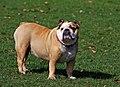 English Bulldog -Dog-220489-1280.jpg