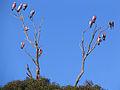 Eolophus roseicapilla -Kangaroo Island -tree-8.jpg