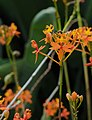 Epidendrum Orchid.jpg
