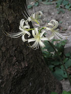 Equinox Flower or Lycoris.jpg