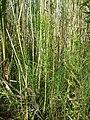 Equisetum telmateia (subsp. telmateia) sl8.jpg