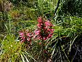 Erica curviflora bush.JPG