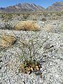 Eriogonum hookeri kz8.jpg