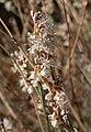 Eriogonum wrightii var wrightii 2.jpg