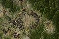 Erysiphe sp. on Salix caprea (38564749741).jpg