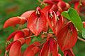 Erythrina crista-galli - Cockspur 01.jpg