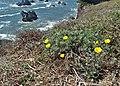 Eschscholzia californica kz06.jpg