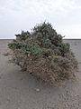 Ethiopie-Danakil-Végétation (8).jpg
