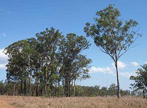 Eucalyptus moluccana - Image: Eucalyptus molucanna