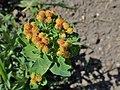 Euphorbia epithymoides kz03.jpg