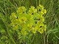 Euphorbia esula inflorescence vertical view 1 AB.jpg