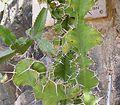 Euphorbia grandicornis2 ies.jpg