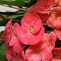 Euphorbia milii (Family Euphorbiaceae) - Flowers I.jpg