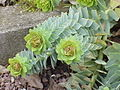 Euphorbia myrsinites2.jpg