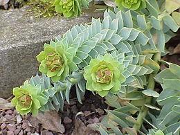 Euphorbia myrsinites2