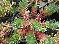 Euphorbia myrsinites red form - Flickr - peganum.jpg